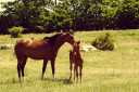 Horses – Mare With Foal