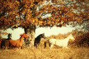 Beautiful Wild Horses in Autumn Forest