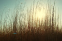 Reeds at sunset background