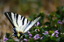 Striped butterfly