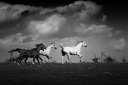 Herd of horses galloping on the beautiful background of the stormy sky