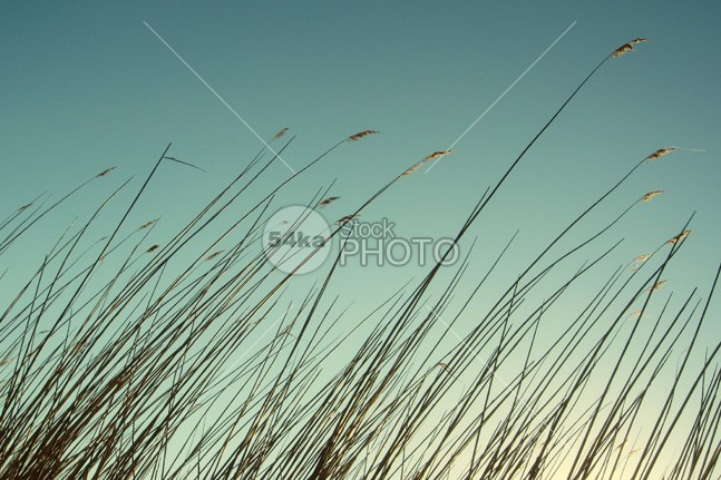 Reeds silhouette of beautiful sunset sky winter view sunset sunlight sun sky Silhouette seasonal season scenery rural reeds reed plant orange nature landscape evening sky evening countryside colorful blue 54ka StockPhoto