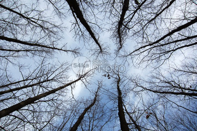Trees viewed from below wood wide weather view vegetation trunk tree Top tall summer strong stem sky season rural park outdoor organic old nature natural long life leafless leaf high growth forest flora environment ecology day crown bole blue big below bark bare background autumn 54ka StockPhoto