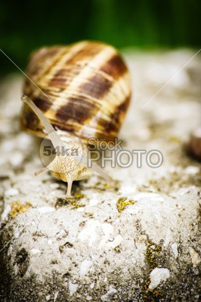 Snail crawling on a stone wet univalve summer sticky spiral snail slug slow slippery slime shell rock pest nature mucus mollusk macro leaf invertebrate insect helix green gastropod daylight cute crawl closeup close cameo brown antenna animal 54ka StockPhoto