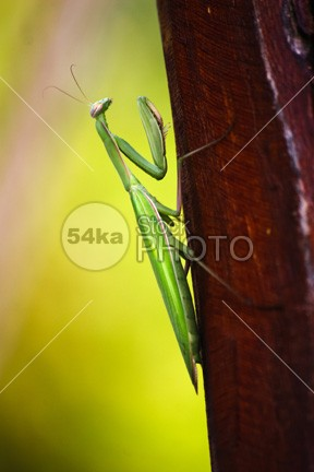 Mantis wildlife wild White Background white Standing square image Square species side view rhombodera predator praying mantis praying one no people nature mantis Looking At Camera looking isolated on white isolated invertebrate insect Indoors green female animal female creepy crawly Copy Space bug basalis antenna animal themes animal portrait animal 54ka StockPhoto