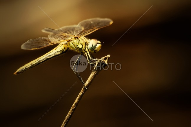 Dragonfly yellow wing wildlife Tail summer species small skimmer red orange one mosquito hawk look Leg invertebrate insect head green eye enlarged dragonfly close-up Dragonfly dragonflies detail closeup bug bright body blue dasher animal 54ka StockPhoto