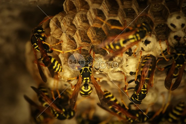 Honeycomb of wild bees yellow working worker wings wildlife wild wax texture teamwork tasty symmetry sweet sugary structure rural pattern orange nature natural macro insect honeycomb honeybee honey hive healthy health golden gold full food farm delicious Concept comb closeup Cell beeswax beekeeping beehive bee background 54ka StockPhoto