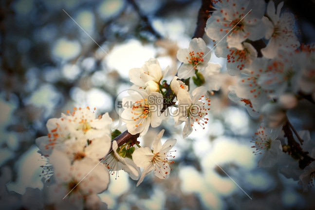 Beautiful Spring Blossom Flowers young white tree tenderness tender springtime background springtime spring softness soft sky season sakura red plant pink petal pastel background oriental orchard new nature natural march macro japan holiday background health greeting card backgrounds gentle gardening garden freshness fresh flower floral flora dreamflower background detail delicate color closeup close cherry flowers cherry blossoms cherry bud branch botany botanical botanic blossoming blossom blooming bloom beautiful background asia april 54ka StockPhoto