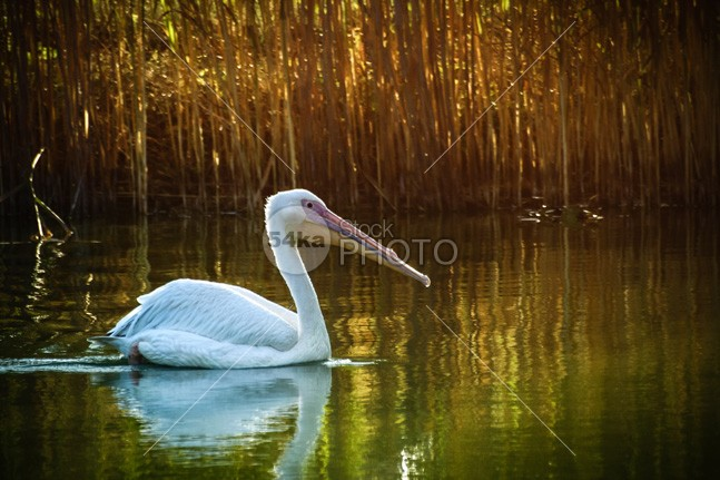 White Pelican zoos zoology yellow wing wildness wildlife wild white waterbirds water sea river preservation pelicans pelican pelecanus ornithology one nature mouth Morning Lake great gliding glider Fishing feeding feathering feather fauna eat cute Conservation coast closeup bright birds bird big beauty beautiful bait background animals animal abstract 54ka StockPhoto