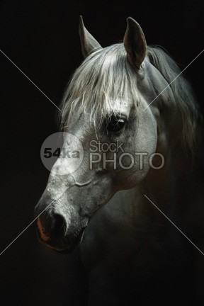 White horse head – Horse animal portrait – Equestrian photography young traditional thoroughbred summer studio Standing stallion stable Square spring sports single show halter saddle Riding reflection ranch purebred pure profile power portrait pets paddock outdoors neck nature Motion mane mammal isolation isolated inquisitive Indoors horsepower horse head horse hoofed head halter grey gray grace force foal farm animals farm equine equestrian elegance dark bridle black background black beautiful beast Arabian Horse arabian arab animal portrait animal heads animal 54ka StockPhoto