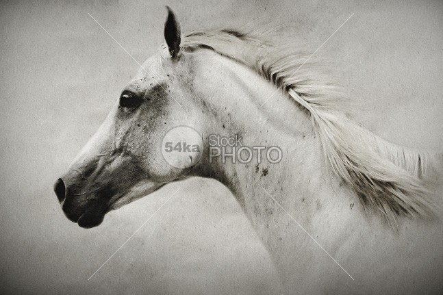 The White Horse wild horse white western thoroughbred strong stallion profile portrait one nostril neck horse hair horse head hairs gray graceful gorgeous forelock eye equine equestrian close-up breed beautiful arabian animal portrait andalusia 54ka StockPhoto