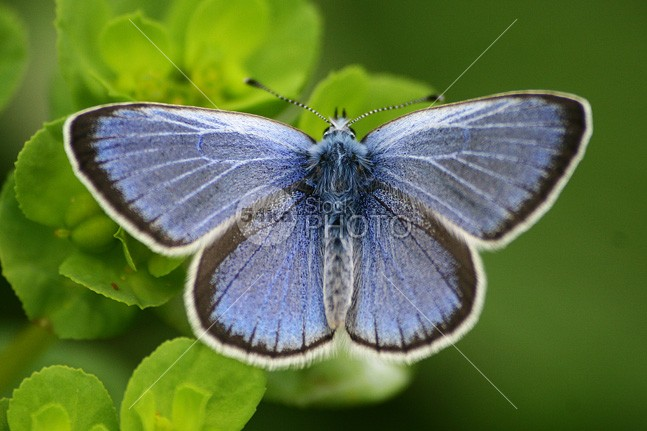 Blue Butterfly wing wildlife wild vibrant summer spring small single season pretty plant pattern outdoors nature natural macro insect horizontal green grass garden free fly flower floral exotic environment elegance detail colorful color closeup close-up Butterfly bug bright blue big beauty beautiful background antenna animal 54ka StockPhoto