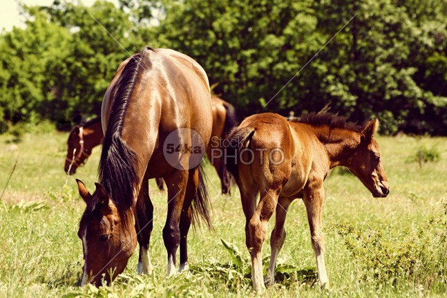 Mare and Foal Grazing young wildlife welsh stud shoot pony pasture outdoor new nature natural native moorland mare mane Mammals mammal life landscape horse green grazing grass forester forest foal feral farm equus equine eating domestic brown baby animals animal 54ka StockPhoto