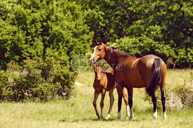 Mare With Foal Grazing young walking walk stud stallion pet peaceful pasture outdoor mother mare mane Mammals mammal little landscape horses horse horizontal green grazing graze grass foal field fauna farm equine equestrian domesticated domestic coat calm caballus brown baby babies animals animal 54ka StockPhoto