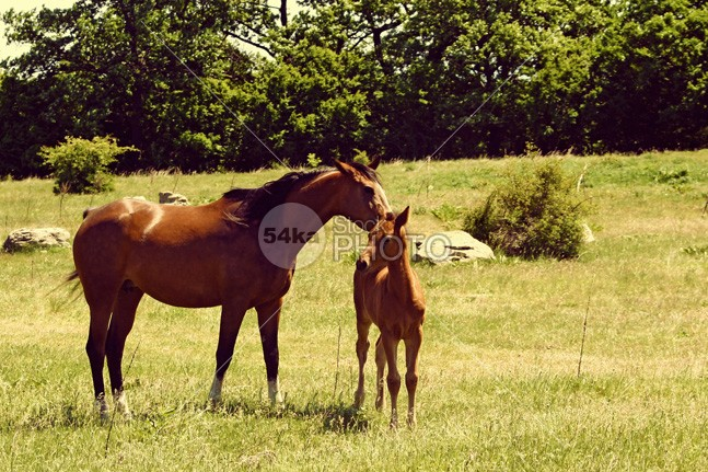 Horses – Mare With Foal young wildlife two sunny sunlight sun summer stud Standing spring shadow pony pet peaceful pasture outdoors newborn new nature mother Morning mom mare mane mammal horse horizontal green grazing grass forest foal flora fence fauna farm Family equine eating domestic daylight cute care brown arab animals animal 54ka StockPhoto