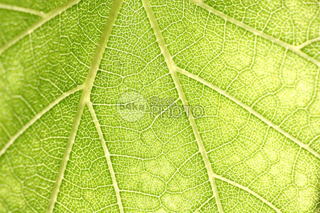 Green Leaf Close-up Texture vegetable tree textute texture summer seasonal season plant organic nature natural macro luck light leaf isolated healthy health green garden freshness fresh flora environment ecology ecological eating color closeup close-up close bright botanics botanical beautiful bamboo background 54ka StockPhoto