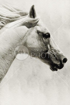 The White Horse III – Art Image – Horse Portrait White Background white vertical thoroughbred sunshine stock image stallion spanish snout sky single print portrait photography nature muzzle moving mount mild mare mane mammal look image horse head hair grey gentle foretop face eyes eye equine equestrian art equestrian closeup calm breed best equine photography Beautiful horses beautiful animals beautiful background art print Arabian Horse arabian animal andalusian aminals 54ka StockPhoto