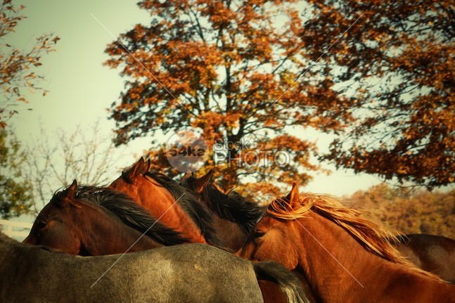 Wild Horses wild trot trees stallion red pony pasture mare mane horses horse hooves herd gallop forest flock canter autumn arabian animals animal 54ka StockPhoto
