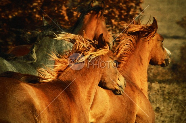 Wild Horses II wildlife wild west tranquil serene scenic red range ranching ranch peaceful outdoor nature montana mammal large horse herd green grazing forest dramatic cool beautiful animal 54ka StockPhoto