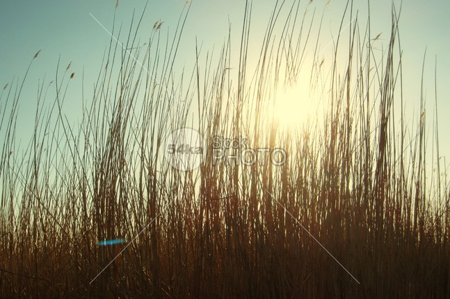 Reeds at sunset background yellow winter wildlife wicker tree swamp sunset sunrise sun summer stem Standing spring skyline sky Silhouette season scenic scene Rush rural romantic romance reed red plant peace patterngrass park over outdoors outdoor orange nature Morning meadow marsh majestic light leaf large landscape horizon grass evening environment elegance edge dry day Dawn common colorful color cold cloud close-up city cane brown botany blue bird beauty beautiful backgrounds background 54ka StockPhoto
