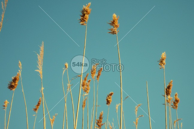 Reeds on blue sky wind water vegetation the sunset sunlight structure stacks softly soft shapes shadow Shade sedge Rush romantic reed profile plant outline nature meadow marsh macro light leaf growing grow grassland grass gently freshness freshly fresh flowering floral flora evening detail dark crosswise botany bending at aquatic abstract 54ka StockPhoto