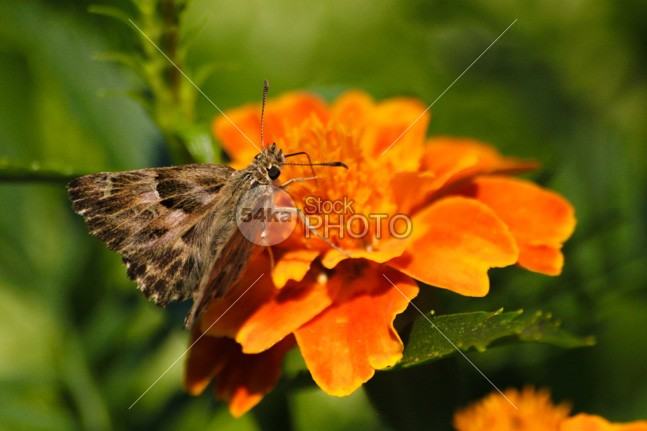 Brown butterfly on orange flower wings wildlife wild upper transformation spots wings butterfly spots profile pink butterfly papilo demoles nature mormon metamorphosis macro lime butterfly isolated invertebrate insect graceful garden freedom fragile fly fauna exotic environment ecosystem delicate dark Brown butterfly colorful Butterfly bug botanical biology beautiful butterfly beautiful antenna animal 54ka StockPhoto
