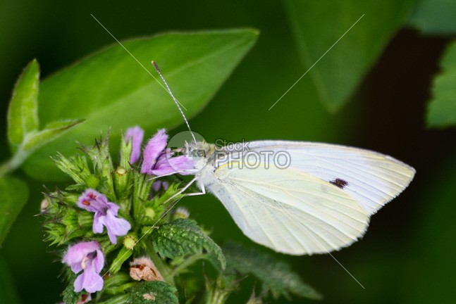 Small white butterfly wing white violet view summer spring small pink nature natural macro insect green garden flower flight environment day color closeup cabbage Butterfly beauty beautiful background 54ka StockPhoto