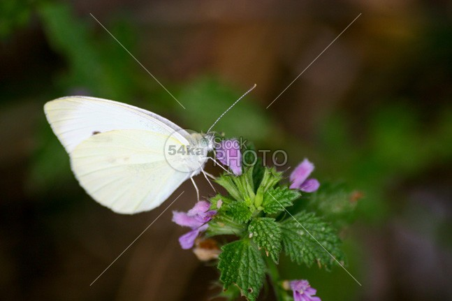 White butterfly in the garden young wings wildlife wild white violet underbrush top view tiny sunshine summer suck spreaded wings small white small sit relax portrait pollination pollinate pink petals park outdoors nectar meadow macro little insect garden from above flower feed environmental environment detailed closeup calm cabbage white cabbage butterfly Butterfly bush bud bloom beauty beautiful 54ka StockPhoto