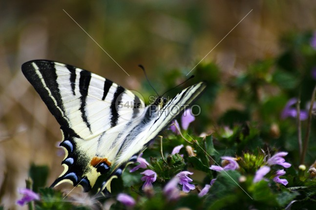 Striped butterfly wings wing wildlife wild flower wild vintage symbol sunset sunrise sundown summer striped spring season plant painted wing organic nostalgic nature natural macro longwing long-winged long insect horizontal heritage grunge grass garden free forest fly flower environment elegance detail colorful insect color closeup close-up Butterfly bug best beauty background antique animal amazing 54ka StockPhoto