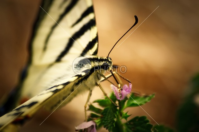 Butterfly drinking nectar yellow wing wildlife warm vulnerability tropical thailand thai spring slose-up plant park orange nature monarch macro insect horizontal green garden fly flower detail delicacy colourful colorful color closeup Butterfly bug black beautiful animal 54ka StockPhoto