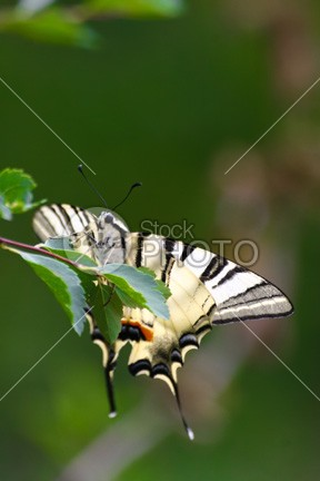 Butterfly on a green background yellow wing wildlife white vertical tropical spring single plant park orange one nature natural macro insect green fresh fly flower detail delicacy colourful colorful color closeup close-up close Butterfly brown black beautiful animal 54ka StockPhoto