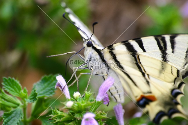 Butterfly with proboscis removed wing wildlife shape pattern nature macro life jungle insect green fly flutter flight elegance design decorative Butterfly bug beauty beautiful antenna accent 54ka StockPhoto