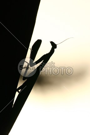 Mantis silhouette wildlife view Tranquil Scene sunset summer Silhouette sea scenic Relaxation praying mantis praying nature meditating macro insect innocence backgrounds Animals In The Wild animal 54ka StockPhoto