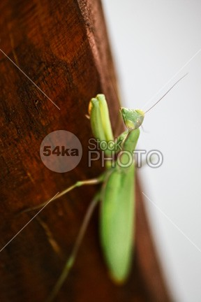 Praying Mantis wood wildlife vertical stick staring spikes religiosa predator praying mouth mantodea mantis mantid macro looking Leg invertebrate insect head green front fear face eye detail creature crawly contrasts compound closeup close-up close claws catcher catch carnivore bug black bite background arthropoda Arthropod arm antenna animal alive 54ka StockPhoto