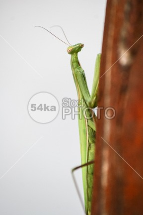 Praying Mantis Green Background wood wildlife vertical stick staring spikes religiosa predator praying mouth mantodea mantis mantid macro looking Leg invertebrate insect head green front fear face eye detail creature crawly contrasts compound closeup close-up close claws catcher catch carnivore bug black bite background arthropoda Arthropod arm antenna animal alive 54ka StockPhoto