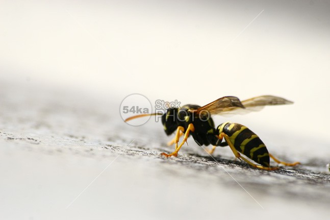 Wasp on blurred white background yellow wing wildlife wild white wasp super macro summer striped stinger sting small sharp petiole nest needle nature macro jacket isolated insect hornet honey fly entomology detailed dangerous close-up black bee animal 54ka StockPhoto