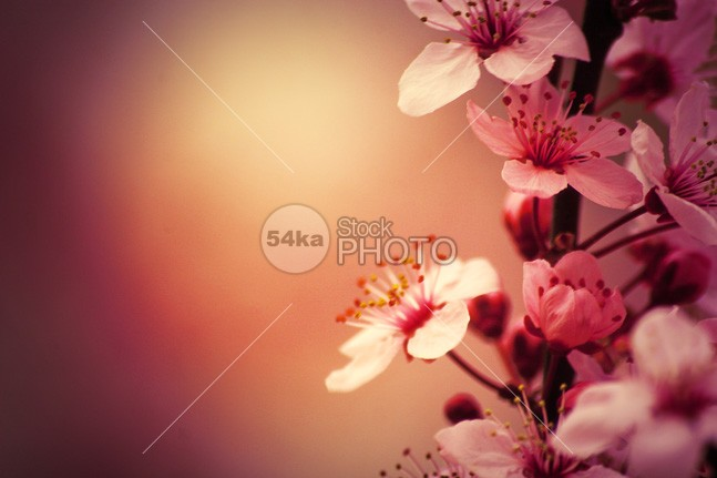 Cherry Blossoms Flowers young white tree tenderness tender springtime spring softness soft sky season sakura plant pink petal oriental orchard new nature natural march macro japanese japan isolated health gentle gardening garden fruit freshness fresh flower floral flora detail delicate closeup close cherry bud branch botany botanical botanic blossoming blossom blooming bloom beautiful background april 54ka StockPhoto