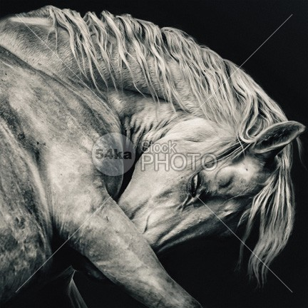 White Arabian Horse Head – Black and White art photography wisdom wild white stallion white western thoroughbred strong stripe stallion stable space sad horse ranch purebred profile portrait pet outside one old nostril neck melancholy mane mammal look long livestock key isolation isolated inquisitive horsepower horse high head hairs hair grey gray gorgeous gelding fragility fragile forelock focus farm eyelash eye equine equestrian art equestrian empty elegance ears ear domesticated domestic detail dapple curious closeup close card breed black big best equine photography bend beauty beautiful background artistic Art arabian arab animal amazing horse 54ka StockPhoto