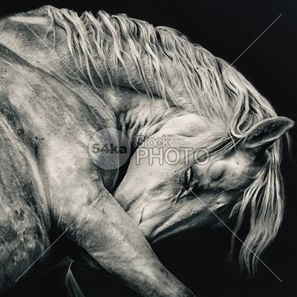 White arabian horse head black and white art photography wisdom wild white stallion white western