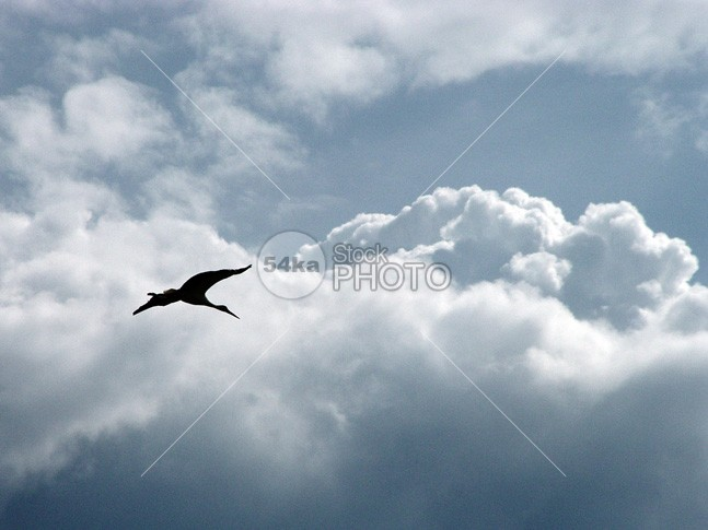 Stork Fly in the Sky wing wildlife Stork sky outdoors nature life large freedom flying cloud blue bird beauty Beak backgrounds Arrival Animals In The Wild animal 54ka StockPhoto