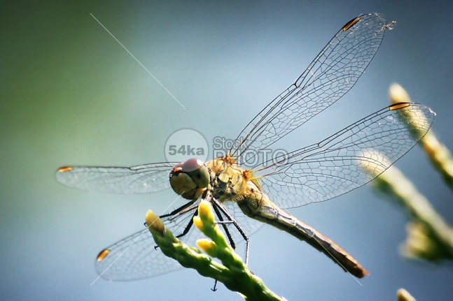 Dragonfly Macro Close-Up Photography yellow wings winged wing wildlife verdant transparent Tail summer spring small Slim red predator park outdoor one nature macro life leaf invertebrate insect head green garden fly flight fauna environment Dragonfly dragon critter creature colorful color closeup close-up close bug branch body blue beauty beautiful background Arthropod amazing 54ka StockPhoto