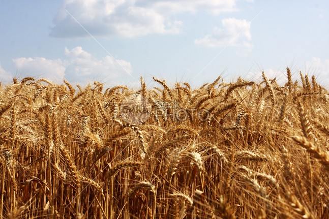 Wheat Field and Blue Sky yellow Wheat Field wheat sunlight sun summer stem sky seed season scene rural plant nobody nature light landscape land horizon harvest growth grain golden gold food field farming farm countryside cloudy cloud cereal bright Blue Sky blue agriculture 54ka StockPhoto