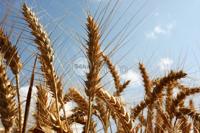 Ripe Summer Wheat and Blue Sky yield yellow wheat sunny sunlight summer straw spike sky seeds seed scene rye rural ripen ripe reap produce plant organic nutrition nature natural industry healthy harvest growth grass grain golden gold food field farming farm ears dry cultivation cultivated crop corn cloud cereal bread Blue Sky blue beauty beautiful agriculture 54ka StockPhoto