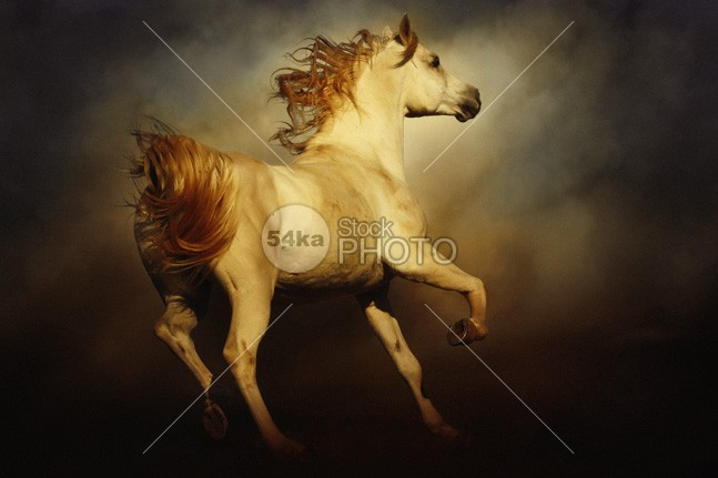 Beautiful Arabian White Horse wild white strong stallion speed sky Running purebred power Pose portrait photo pet peaceful outdoor one noble nature moving Motion mare mane mammal light horse high head grey gallop freedom free equine equestrian elegant dramatic black beauty beautiful background Art arabian arab animal 54ka StockPhoto