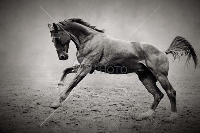 Equine fine art photography galloping black horse wild white stud strong stallion speed run purebred power
