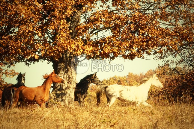 Beautiful Wild Horses in Autumn Forest yellow wild white warmblood trot trees tree thoroughbred stallion show season rider red purebred portrait path pasture park outside outdoor nature mare mane mammal leaves leaf landscape horse herd green gelding gallop forest farm fall equine equestrian cute colt color chestnut brown breed black beauty beautiful bay background autumn animal 54ka StockPhoto