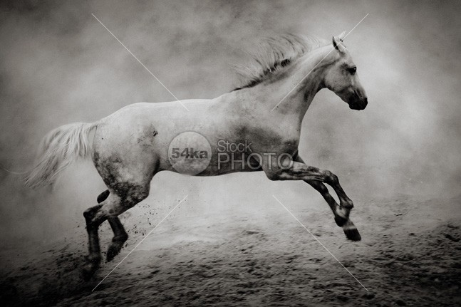 White stallion – wild white horse young wild white tale sunshine sunset sunrise strong stallion speed silver sand Runner run rising ranch power nature moving Motion mane mammal light jump horse in dust horse hoofed high herd ground grey gray gallop freedom free forward force fastest fast farm equine equestrian emotions dust buy poster black and white black beast 54ka StockPhoto