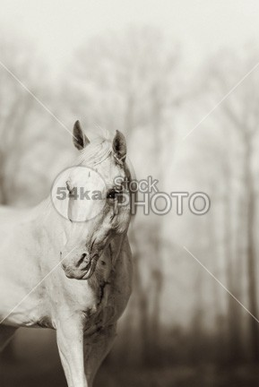 Lone White Wild Horse Art Photography regal rainy rain pony pet outside outdoors outdoor nose neck nature natural nag mustang mane lonely lone life legs landscape impressive image horse hoof head graze grassy free Fog field face eyes equine equestrian beauty ear domestic destination day countryside country coast clouds broken blue beauty beautiful back Arabian Horse animal alone 54ka StockPhoto