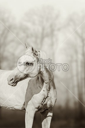 Beautiful Portrait Of Lone White Horse peril pasture overweight nature natural mustang Motion meadow mare mane mammal lovely lonely lone life image horses horse photography horse horizontal herd head grass gorgeous friendly free forelock field farm eye equine equestrian beauty equestrian elegant eating cute country closeup chestnut brown bridle breed body blown black beauty beautiful horse beautiful Art arab horse animal alone 54ka StockPhoto