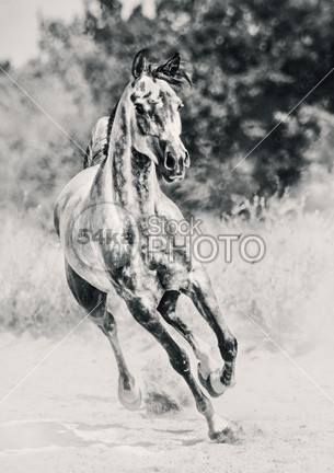 Arabian horse running on sunny meadow wind wild strong outdoor ocean nature mustang muscles moving movement Motion meadow mare mane mammal jumping horse horizon heavy green grass gelding Galloping gallop frontview freedom free foam field fast farmland farm equitation equine equestrian emotions dust draft domestic day countryside clouds cloud chesnut brown black and white beautyful beast bay barley background b&w animal agriculture Activity 54ka StockPhoto